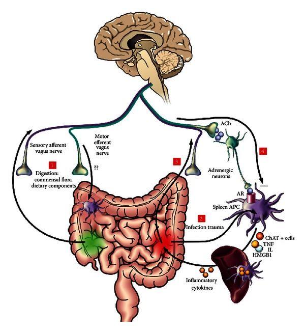 gut brain axis - low testosterone