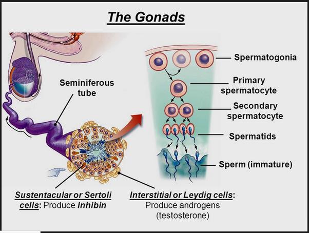 leydig cells low testosterone